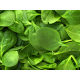 Spinach (200g Bunch)